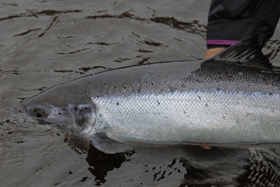 Photo of Atlantic Salmon, Courtesy of Hans van Klinken