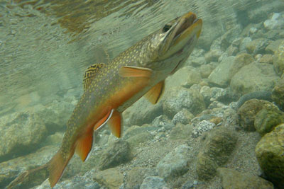 Photo of Brook Trout, Courtesy of Hans van Klinken