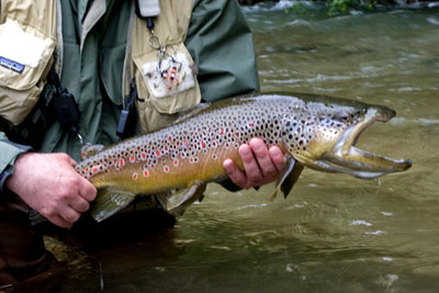 Photo of Brown Trout, Courtesy of Hans van Klinken