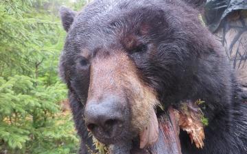 A Beauty of a Bear