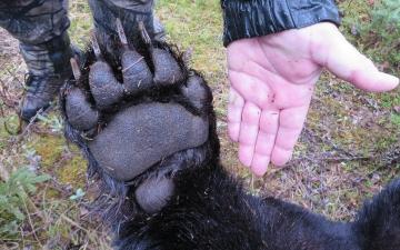 Black Bear Paw