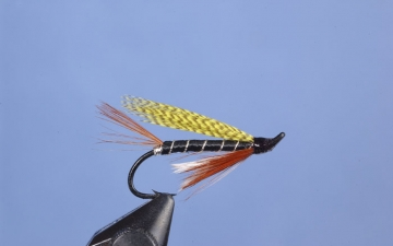 Hairwing: Oriole