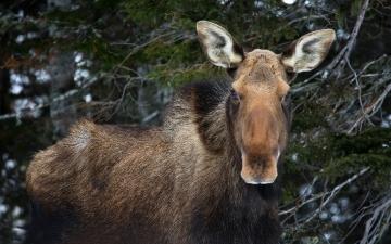 Moose Cow Says Hello