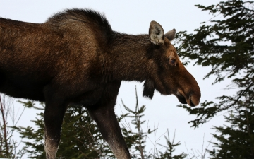 Profile Of A Moose Cow