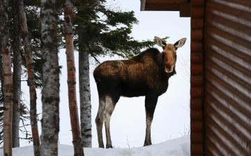 Moose on Tuckamore Grounds