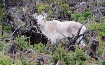 Caribou - Lots of Them