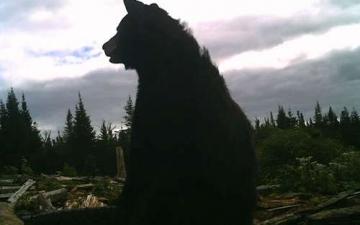 Web Cam Black Bear