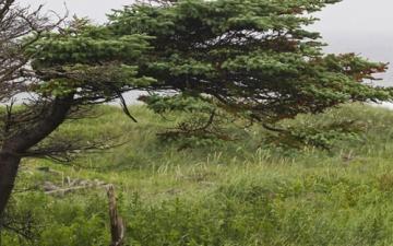 Tuckamore Tree