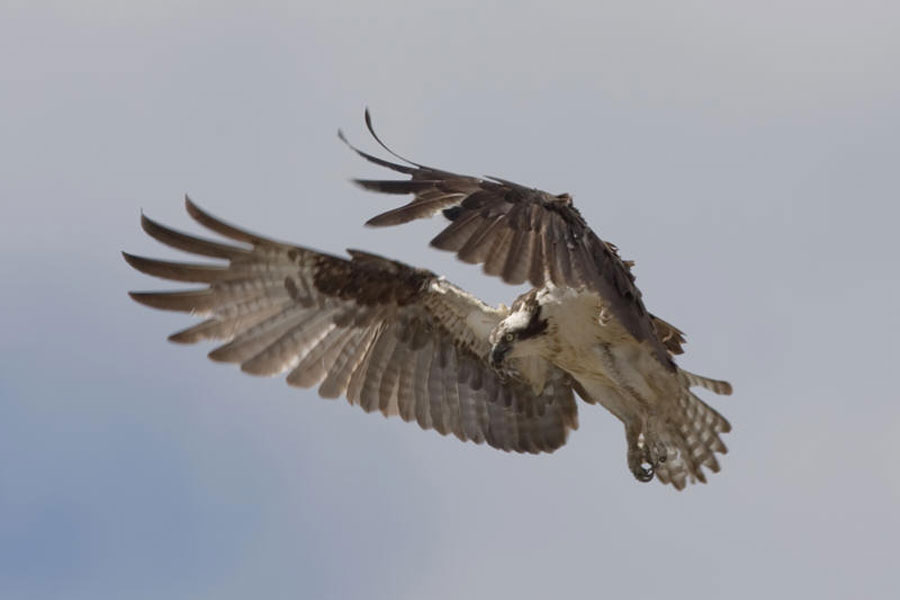 Tuckamore Lodge French Shore Category Wildlife Image Birds Of Prey